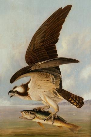 https://imgc.artprintimages.com/img/print/osprey-and-weakfish-1829_u-l-q19porh0.jpg?p=0