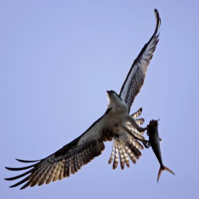 Osprey Carries Fish in Talons as it Flies over the Players Championship Golf Tournament in Florida--Photographic Print