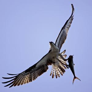 Osprey Carries Fish in Talons as it Flies over the Players Championship Golf Tournament in Florida