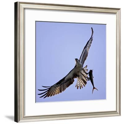 Osprey Carries Fish in Talons as it Flies over the Players Championship Golf Tournament in Florida--Framed Photographic Print