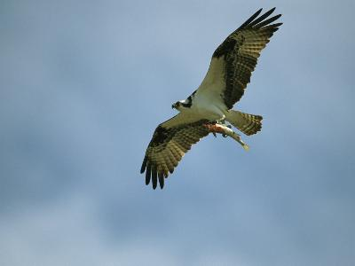 Osprey Carrying a Fish Back to its Nest-Klaus Nigge-Photographic Print