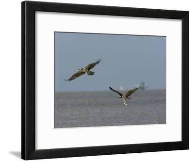Osprey Carrying a Fish Chases Another, Possibly a Courtship Offering-Tim Laman-Framed Photographic Print