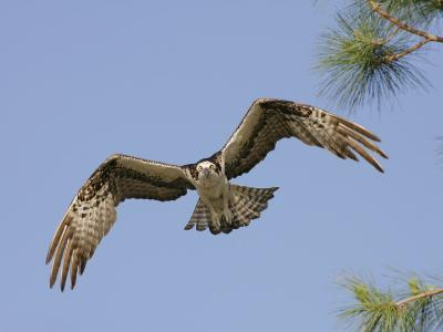 Osprey Flying (Pandion Haliaetus), Florida, USA-Arthur Morris-Photographic Print