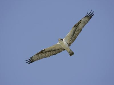 Osprey Flying, Pandion Haliaetus, North America-Arthur Morris-Photographic Print