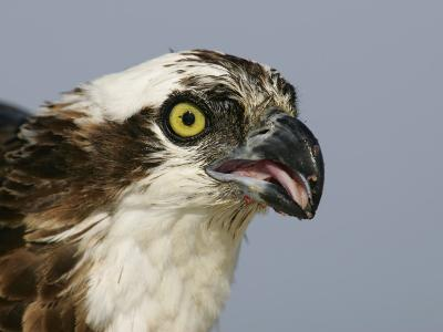 Osprey Head, Pandion Haliaetus, North America-Arthur Morris-Photographic Print