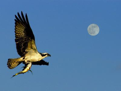 Osprey in Flight with Fish in Talon-Russell Burden-Photographic Print
