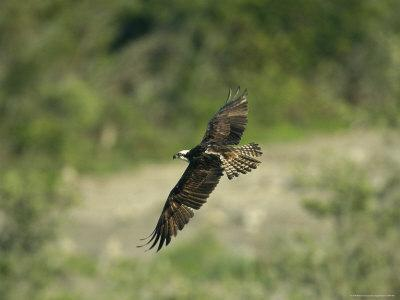 Osprey in Flight-Klaus Nigge-Photographic Print