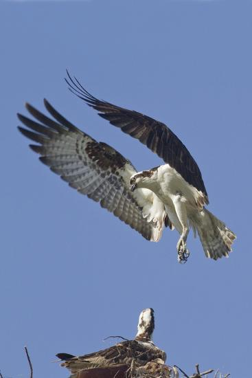 Osprey Landing at its Nest-Hal Beral-Photographic Print