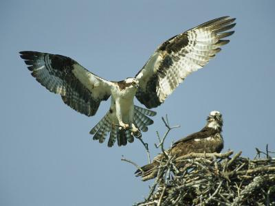 Osprey Landing in its Nest near its Partner-Klaus Nigge-Photographic Print