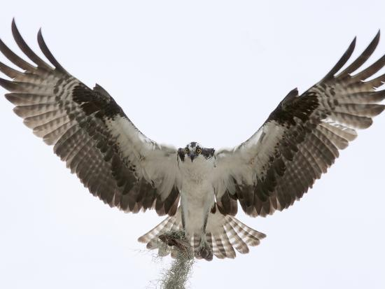 Osprey Landing (Pandion Haliaetus), Florida, USA-Arthur Morris-Photographic Print