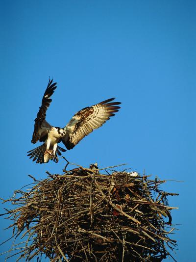 Osprey over Nest, Muritz National Park, Germany-Norbert Rosing-Photographic Print