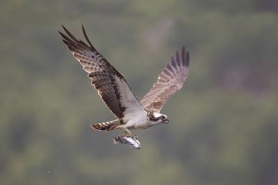 Osprey (Pandion Haliaeetus) in Flight, Fishing at Dawn, Rothiemurchus, Cairngorms Np, Scotland, UK-Peter Cairns-Photographic Print
