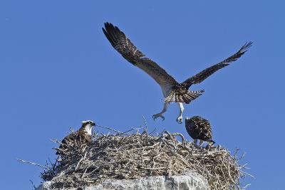 Osprey (Pandion Haliaetus) Chick Practising Flight, Gulf of California Baja California Sur, Mexico-Michael Nolan-Photographic Print