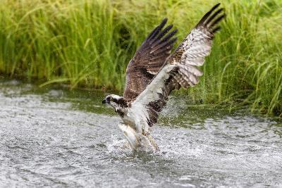Osprey (Pandion Haliaetus) Exiting a Small Pond with its Huge Wings Extended-Garry Ridsdale-Photographic Print