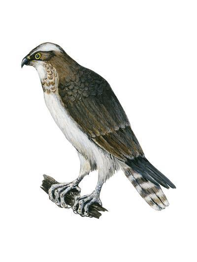 Osprey (Pandion Haliaetus), Fish Hawk, Birds-Encyclopaedia Britannica-Art Print