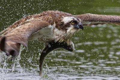 Osprey (Pandion Haliaetus) Flying Low Above the Water with a Freshly Caught Fish in its Grasp-Garry Ridsdale-Photographic Print