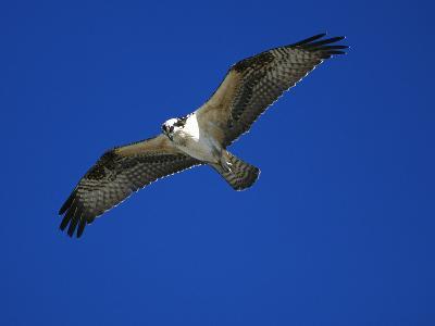 Osprey (Pandion Haliaetus) in Flight, Long Island, New York-Tom Vezo/Minden Pictures-Photographic Print