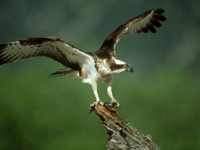 Osprey, Pandion Haliaetus Male on Branch with Fish Scotland, UK-Mark Hamblin-Photographic Print