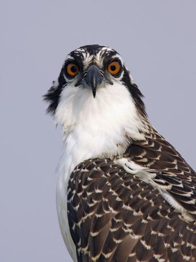 Osprey (Pandion Haliaetus), North America-Arthur Morris-Photographic Print