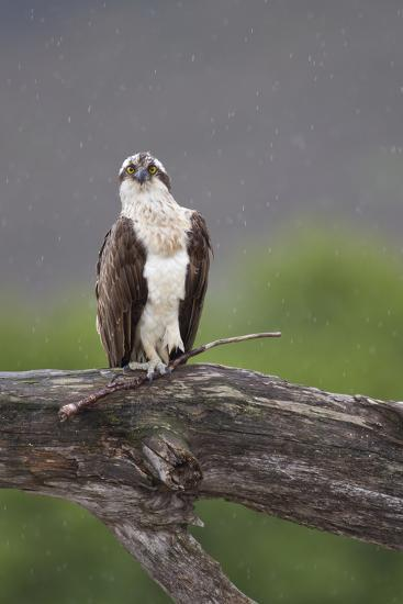 Osprey (Pandion Haliaetus) on Branch, Holding Stick, Cairngorms Np, Scotland, UK, July-Peter Cairns-Photographic Print