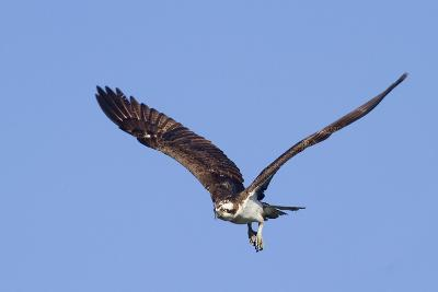 Osprey Takes Off-Hal Beral-Photographic Print