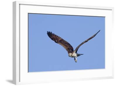 Osprey Takes Off-Hal Beral-Framed Photographic Print