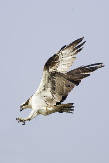 Osprey with Extended Talons-Hal Beral-Photographic Print