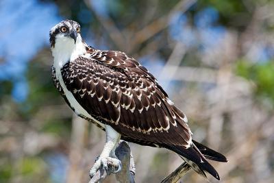 Osprey, Yucatan, Mexico-Howard Ruby-Photographic Print