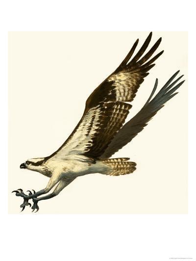 Osprey--Giclee Print