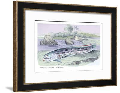 Osteoflossum Arowana-Robert Hermann Schomburgk-Framed Art Print
