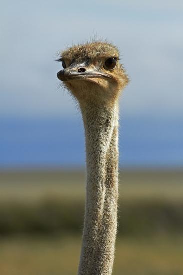 Ostrich, Etosha National Park, Namibia-David Wall-Photographic Print