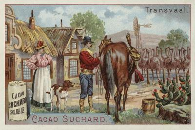 Ostrich Farm, Transvaal--Giclee Print