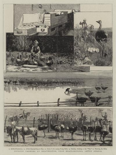 Ostrich Farming at Heatherton, Near Grahamstown, South Africa--Giclee Print