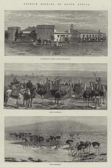 Ostrich Farming in South Africa--Giclee Print