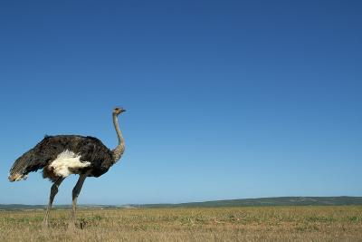 Ostrich in a Pasture-Paul Souders-Photographic Print