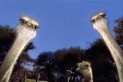 Ostrich Inquisitively Looking into Camera--Photographic Print