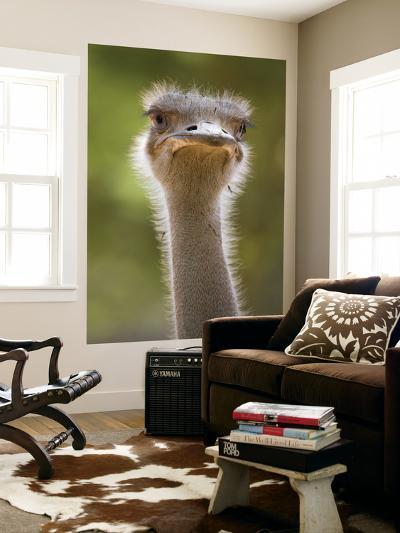 Ostrich, Lewa Wildlife Conservancy, Kenya-Demetrio Carrasco-Giant Art Print