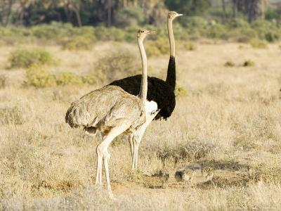 Ostrich, Male and Female with Chicks, Kenya-Mike Powles-Photographic Print