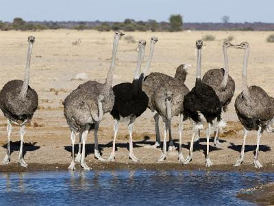 Ostrich, Male and Females Drinking, Botswana-Mike Powles-Photographic Print
