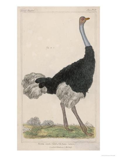 Ostrich of the Eastern Continent--Giclee Print