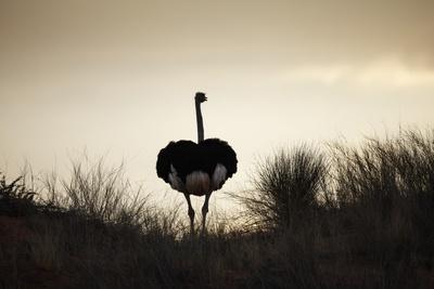 https://imgc.artprintimages.com/img/print/ostrich-silhouette-south-africa_u-l-pzpaim0.jpg?artPerspective=n