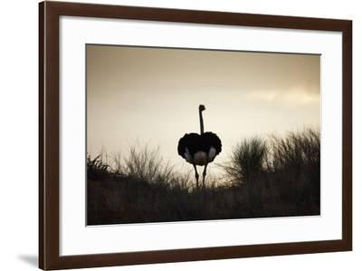 Ostrich Silhouette, South Africa-Richard Du Toit-Framed Photographic Print