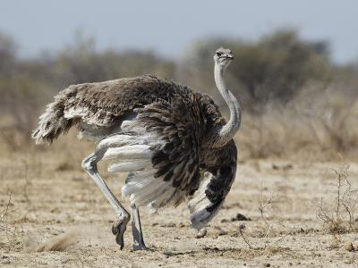 Ostrich [Struthio Camelus] Courtship Display By Female, Etosha National Park, Namibia, August-Tony Heald-Photographic Print