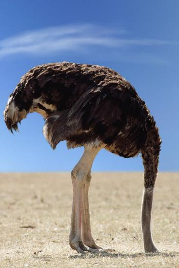 Ostrich with Head in Sand--Photographic Print
