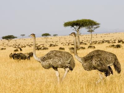 Ostriches and Wildebeests-Hal Beral-Photographic Print