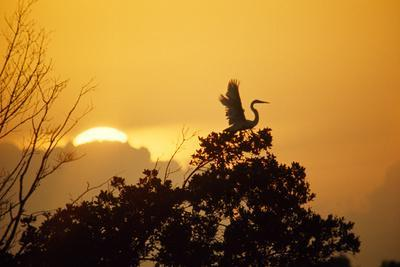 An American Egret Is Silhouetted by the Setting Sun