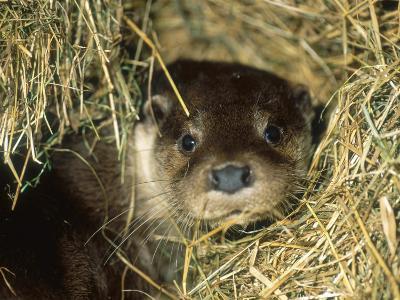 Otter in Straw, Aylesbury, UK-Les Stocker-Photographic Print