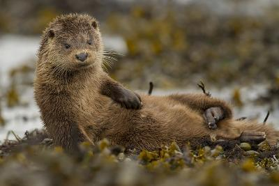 Otter (Lutra Lutra) Female Grooming In Seaweed, Mull, Scotland, England, UK, September-Paul Hobson-Photographic Print