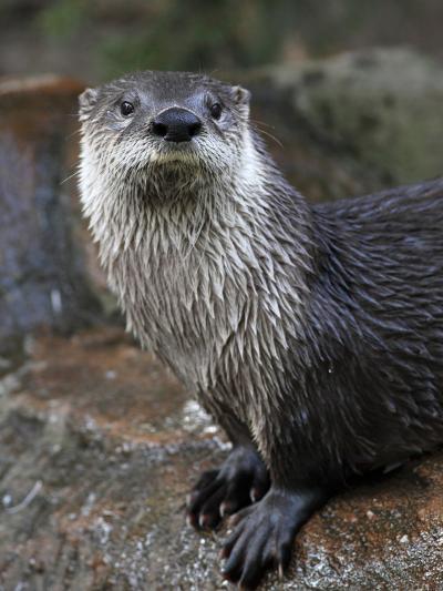 Otter - The Cutest European Mammal-l i g h t p o e t-Photographic Print
