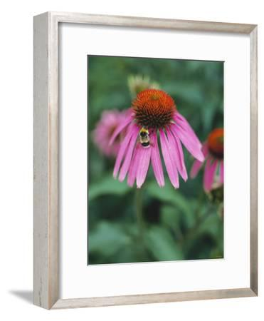 Purple Coneflower (Echinacea Purpurea) with Bee